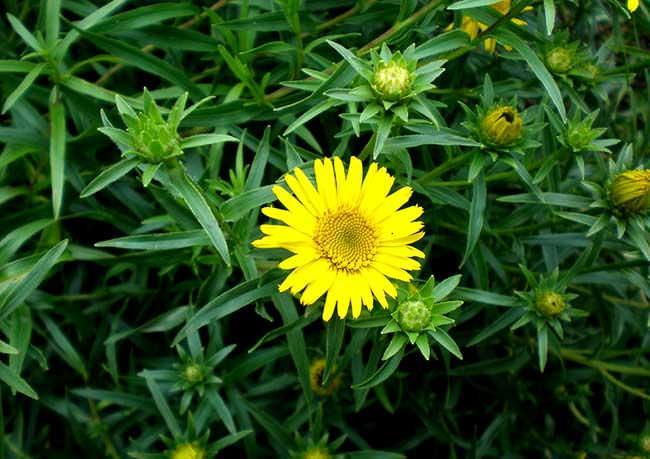 Растение Девясил в лечении псориаза