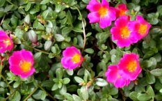 Портулак огородный от псориаза